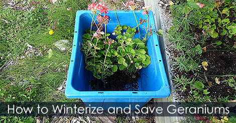 how to bring geraniums indoors for winter